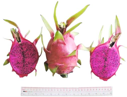 A New Type Of Dragon Fruit Has Been Bred Successfully In Vietnam